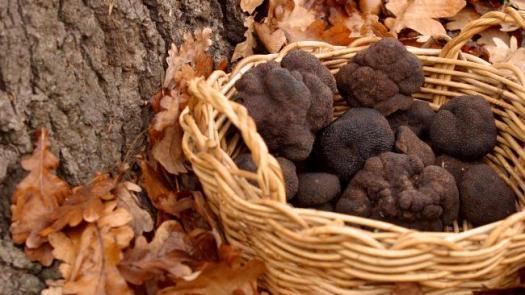 795627-black-perigord-truffle