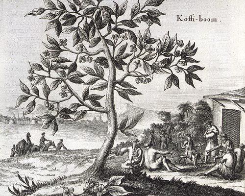 coffeetree