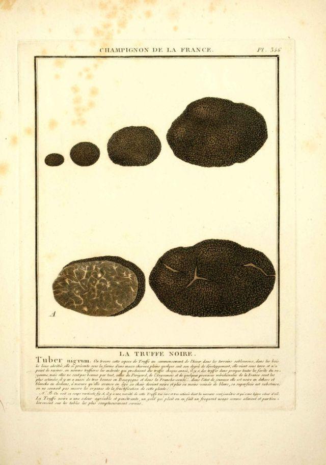 tuber nigrum - truffe noire